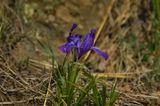макро, цветок, сон-трава