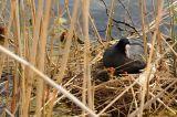 на предыдущем снимке птица только отложила яйца, а тут уже птенцы, первое знакомство с окружающим миром