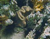 Эхинотрикс- Диадема (Морской Ёж), Ковровая (Липкая) АктинияКрасное море