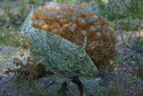 Сетчатый Стефанолепис- рыбка семейства Единороговых, размером не больше 10 сантиметров,плавно кружила на глубине около трех метров вокруг кустика полипов под названием Ксения Зонтичная Сетчатый Стефанолепис, Ксения Зонтичная (полип)Красное море