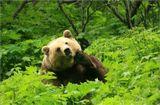 Заинтересовавшись сильным шумом в густых зарослях кустов, мы осторожно приблизились и обнаружили крупного медведя, усилено  занимавшегося  утренним туалетом. Мишке было не до нас- он остервенело приводил в порядок всклокоченную после сна шевелюру. Так же неслышно мы ретировались.