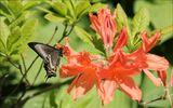 Веточка рододендрона и хвостоносец Маака (лат. Papilio maackii)Самая крупная дневная бабочка России.