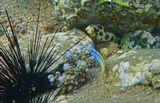 Красноморский Эксен на фоне Пятнистого Острохвостого Угря.Угорь сидел под камнем, в тени, и не желал вылезать на фотосессию.Размер Эксена не больше пяти сантиметров.Красноморский Эксен, Пятнистый Острохвостый Угорь, Эхинотрикс- Диадема (Морской Ёж)Красное море