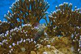 Короткая Экзалия — рыба семeйства собачковых, очень осторожный обитатель верхушек коралловых рифов, вырастает до 10 см, питается коралловыми полипами. Удивительный вид у Огненных Кораллов: белые кончики- может, это молодые отростки?Короткая Экзалия, Огненные КораллыКрасное море