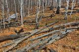 березки и поваленные деревья