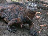 Один из местных эндемиков - игуана. При попытке приблизиться к нему ящер издал грозное шипение и удалился в кусты )