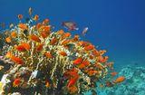 Драгоценный Псевдантиас в Огненных КораллахКрасное море