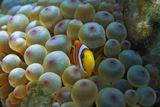 Размер Рыбки около пяти сантиметров. Снято на глубине трех метров.Амфиприон в Актинии, Красное море