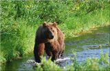 Середина лета, горбуша и кижучь двинулись по рекам Камчатки на нерест. Самое время для ловли рыбы. Все медведи перебрались на реки и речушки.