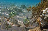 Размер Рыбок около 10 сантиметров. Снято на глубине трех метров.Эти Рыбки всегда плавают парочками, умеют менять цвет, не любят позировать.Жемчужный Иглобрюх, Красное море