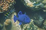 Размер Рыбки около полуметра, снято на глубине четырех метров.Коричневый Псевдабалихт, Красное море