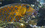 Размер Рыбки около 30 сантиметров. Снято на глубине трех метров.Кузовок, Красное море