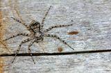 Паук филодромус жемчужный (Philodromus margaritatus)