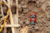 Семиточечные божьи коровки (Coccinella septempunctata, Ladybugs)