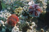 Морские Ежи, несмотря на иглы и известковый панцирь, часто становятся добычей для морских хищников. Чтобы отпугнуть какую-нибудь хищную рыбу, Ёж выстреливает в воду целую тучу своих педицеллярий,которые внешне  похожи на миниатюрные клешни или щипчики, снабженные тремя зубчиками и емкостью с ядом.Зубчики вонзаются в тело врага и остаются в нем, отравляя рыбу токсином.Трипнеустес- Ядовитый Морской Ёж, Красное море