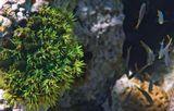 Тубастрея Зеленая- единственный рифостроящий коралл без зооксантел. Известны темно-бурого, зеленого, красного цветов: https://content-8.foto.my.mail.ru/mail/mvmil56/9481/b-10043.jpg В вечернее и ночное время выпускает щупальца для питания.  Тубастрея Зеленая, Красное море