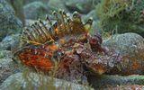 Размер Рыбки около 20 сантиметров.  Нитепёрая Бородавчатка, Красное море