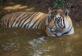 Тигровый заповедник Шимога.Индия