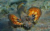 Нитепёрая Бородавчатка, Красное море