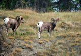 Вот на этих горных баранов пытался охотиться койот, который есть на моем предыдущем снимке.