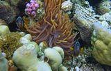 Парочка Амфиприонов необычного черного цвета.Размер рыбок около 10 сантиметров.Амфиприон, Красное море