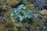 Рыба- Камень, размером около 20 сантиметров, снята на глубине трех метров.  Дьявольский Скорпенопсис, Красное море
