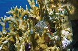 Размер Рыбки около 15-ти сантиметров.  Короткая Экзалия, Красное море