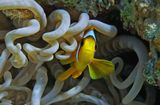Размер Рыбки не более 15 сантиметров.Амфиприон, Актиния, Красное море