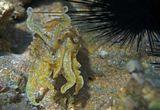 Зелёная кровь, три сердца, способность менять цвет кожного покрова.У этого моллюска острый 'клювообразный хоботок', с помощью которого он разрезает тело своей добычи словно бы ножницами,поэтому с успехом может использовать свои щупальца для 'разделки' мяса.Питается мелкими рыбками, ракообразными. Охотится в дневное время, ловя маленькую добычу путём всасывания её через хоботок и выдергивая из песка.Фараонова Каракатица, Красное море