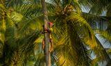 Очень опытным сборщикам за день удается сбросить орехи со 100—150 пальм.