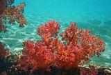 Дендронефтия Хемприха- Древовидный Мягкий КораллКрасное море