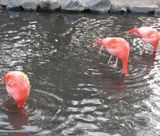 #Japan #Nagoya #Zoo #Flamingo