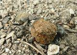 Жуки навозники. Жуки изготавливают из навоза шарики разного размера, иногда значительно превышающие размеры самого жука. Нередко из-за обладания готовым шариком между жуками возникают драки. В процессе совместного катания шариков образуются супружеские пары, начинающие работать совместно и заготавливать пищу для потомства...