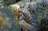 Друзья, присмотритесь! над головой Рыбы- Собачки- ее Детёныш. Салария около 10 сантиметров, можно представить, какой размер Малютки...Многополосая Салария, Красное море