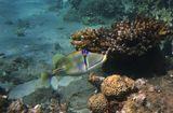 Размер Рыбки примерно 20 сантиметров. Снято на глубине трех метров.Спинорог Пикассо, Красное море
