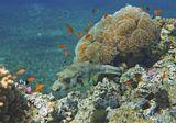 Размер Рыбы около 40 сантиметров, снято на глубине примерно трех метров.Колючий Аротрон, Саркофитон Грибовидный (Кожистый Коралл)Красное море