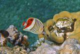 Красноспинные Рыбы- Бабочки обитают только в Красном море.Размер около 10 см. Без устали порхают, как настоящие Бабочки,позировать НЕ любят. Рацион их питания состоит из мягких кораллов,водорослей и небольших ракообразных.Красноспинная Рыба- Бабочка, Красное море