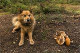 Этот пес пришёл из леса к нашему лагерю, постоял, дождавшись приглашения, пообедал с нами, попозировал и тихо удалился повиляв на прощание хвостом. Прямо, как дух лесной! Приятный в общении товарищ. Он тоже присоединяется к поздравлениям! )))