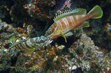 Размер Рыб 20- 25 сантиметров. Снято на глубине около трех метров.Краснополосый Групер, Красное море