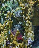 """Две крохотные Рыбки резвились в Огненных Кораллах. """"Поймать"""" обеих одновременно было весьма проблематично.Они ныряли между ветвей Коралла, то исчезая, то появляясь вновь в непредсказуемых местах. Размер рыбок 10 сантиметров.Короткая Экзалия, Красное море"""