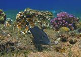 Спинорог Белохвостый Суффламен пуглив, питается водорослями и беспозвоночными, которых соскребает своими зубами со скал. На переднем спинном плавнике находятся три шипа, первый из них очень развит. С помощью этих шипов Спинорог может прикрепляться к скалам. Спинороги откладывают донную икру, которую некоторое время охраняет самец. Размер Рыбы около 25 сантиметров. Снято на глубине примерно трех метров.Белохвостый Суффламен, Красное море
