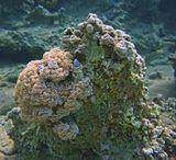 Красноморский Эксен, размер которого не более 5 сантиметров, нашел прибежищев Трубчатом Коралле, расположившемся в окружении Пульсирующих Мягких Кораллов Гетероксения.Поближе Рыбку- Собачку можно рассмотреть здесь: https://content-13.foto.my.mail.ru/mail/mvmil56/10264/b-10428.jpgКрасноморский Эксен, Красное море