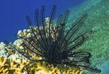 Морские Лилии- Донные животные с телом в виде чашечки, в центре которой находится рот, а вверх отходит венчик из ветвящихся лучей.Вниз от чашечки отходит прикрепительный стебелёк длиной до 1 м, прирастающий к грунту.Морские Лилии являются пассивными фильтраторами, отцеживающими из воды питательную взвесь.Морская Лилия, Красное море