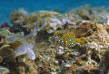 Размер Рыбки примерно 5- 7 сантиметров. Снято на глубине трех метров.Жемчужный Кузовок- Кубик, Бурые Водоросли Падина ГолоспороваяКрасное море