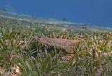Пятнистый Ботус (Леопардовая Камбала) обитает на песчанных лагунах и склонах  вблизи Коралловых Рифов на небольшой глубине. Питается донными беспозвоночными. Виртуозно принимает покровительственный окрас: https://content-21.foto.my.mail.ru/mail/mvmil56/10264/b-10329.jpg Самцов этого вида рыб можно определить по длинному плавнику.  Размер Рыбки около 20 сантиметров. Снято на глубине примерно трех метров.  Пятнистый Ботус, Красное море