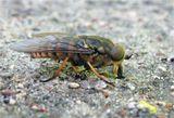 Слепень(лат. Tabanidae) — семейство двукрылых из подотряда короткоусых. Крупные мухи, с мясистым хоботком, внутри которого заключены твёрдые и острые колющие и режущие стилеты. Слепни населяют все континенты кроме Антарктиды. Самки большинства видов слепней пьют кровь теплокровных животных - млекопитающих и птиц, в то же время самцы всех без исключения видов слепней питаются нектаром цветковых растений...
