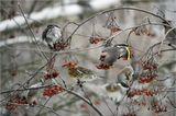 Свиристель, или обыкновенный свиристель(лат. Bombycilla garrulus) — певчая птица отряда воробьинообразных. На фото та, что с желтым хвостом. Рябинник(лат. Turdus pilaris) — распространённый вид европейских дроздов.