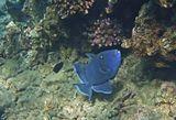Коричневый Псевдобалихт (Спинорог). Английское название Спинороговых «triggerfish» можно буквально перевести как«рыба со спусковым крючком» или «рыба с защёлкой». Зубы приспособлены для разгрызания и раскусывания панцирей морских ежей.Охраняя отложенную икру, Спинороговые могут вести себя агрессивно и наносить довольно ощутимые укусы ныряльщикам.Коричневый Псевдобалихт, Красное море