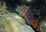 Размер Рыбки- Собачки около 10 сантиметров. Снято на глубине примерно трех метров.Короткая Экзалия (Собачковые), Красное море