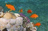 Размер бОльшей Рыбки около 10 сантиметров.Драгоценный Псевдантиас, Красное море